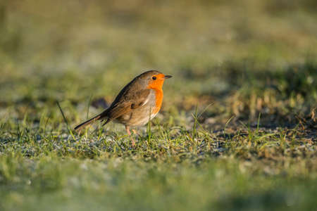 robin: Robin on icy grass Stock Photo
