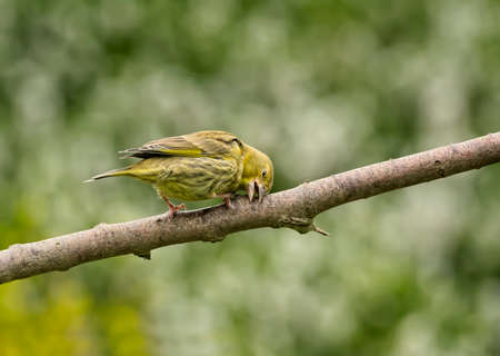 greenfinch: Greenfinch, Carduelis chloris, on a branch, cleaning and shaping its beak Stock Photo