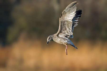 larus: Herring gull, Larus argentatus, juvenile, in flight, close-up Stock Photo