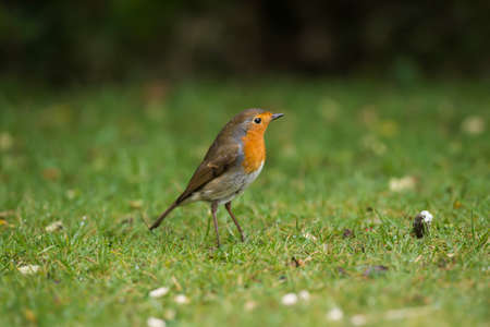 robin: Robin on the grass Stock Photo
