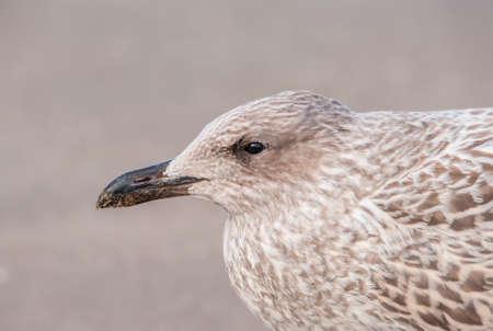 larus: Herring gull, Larus argentatus, juvenile, portrait, close up Stock Photo