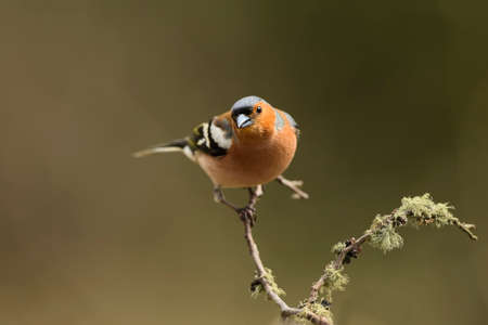 perched: Chaffinch, Fringilla coelebs, perched on a branch