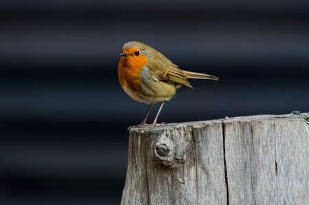 tree stump: Robin perched on a tree stump Stock Photo