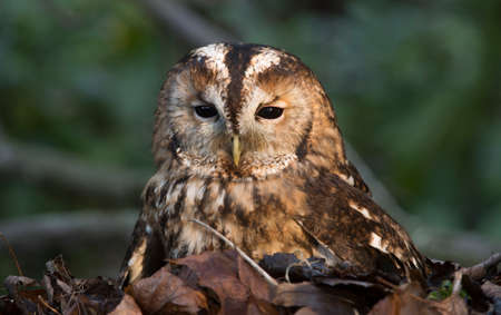 ashy: Ashy faced owl, sitting in a pile of leaves Stock Photo