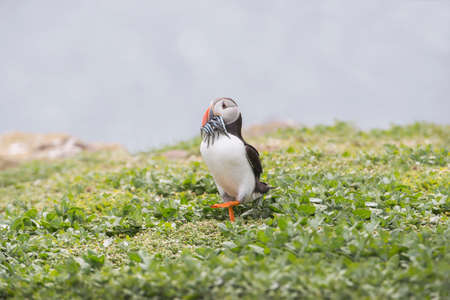 arctica: Puffin, Fratercula arctica, standing on the grass with a beak full of Sand eels Stock Photo
