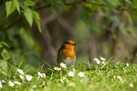 redbreast: Robin on the grass Stock Photo