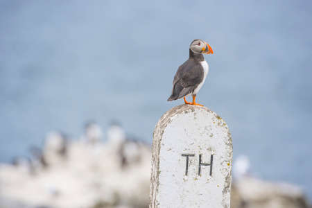 arctica: Puffin, Fratercula arctica, standing on a sign Stock Photo