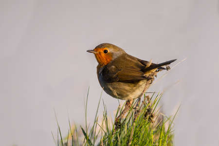 grass close up: Robin perched on a clump of grass, close up Stock Photo