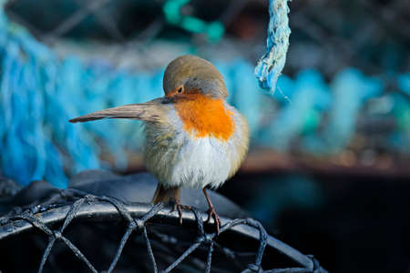 the ornithology: Robin preening itself on a creel Stock Photo