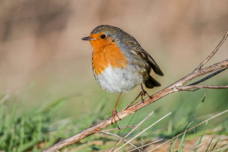 redbreast: Robin perched on a twig Stock Photo