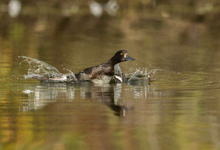 Tufted duck, female, taking off from a pond