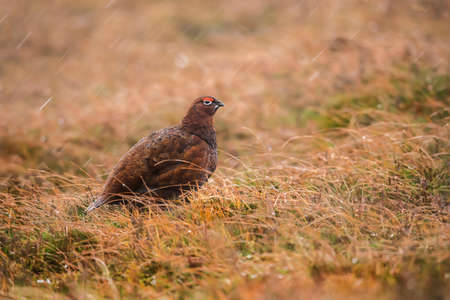 grouse: Red Grouse, on Scottish moorland