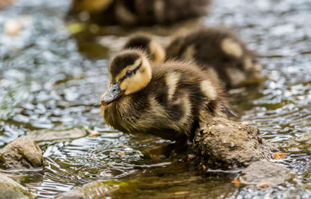 duckling: Mallard duckling on a rock