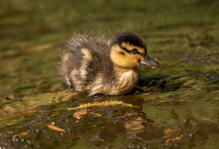 wildfowl: Mallard duckling in a river, with a drip on its beak, close up Stock Photo