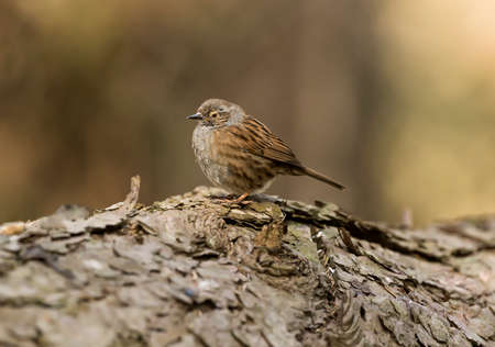 prunella: Dunnock, Prunella modularis, perched on a tree trunk