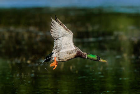 Mallard flying over a pond