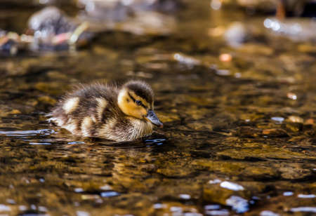 wildfowl: Mallard duckling in a river