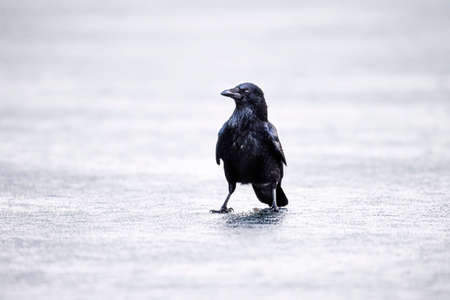 carrion: Crow on ice