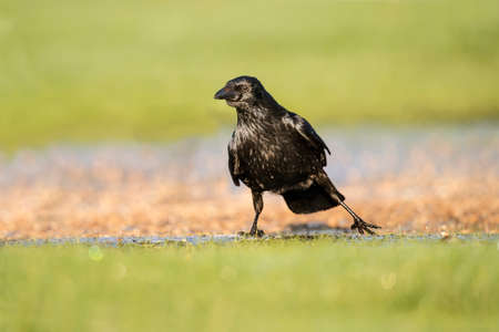 carrion: Carrion Crow, Corvus corone, on frozen grass