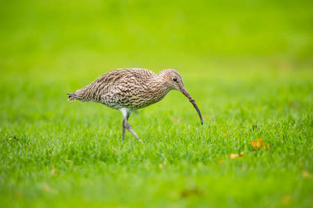 the ornithology: Curlew, Numenius arquata, on the grass