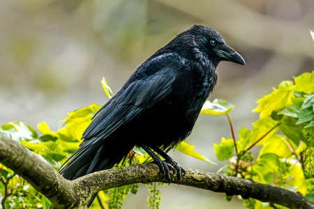 cuervo: Crow, Corvus corone, posado en una rama, de cerca Foto de archivo