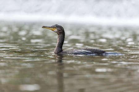cormorant: Cormorant in a river