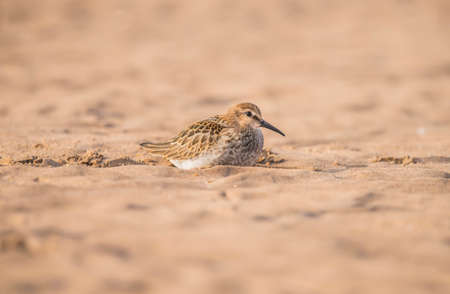 wader: Dunlin, Calidris alpina, resting on the sand