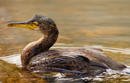 carbo: Cormorant ,Phalacrocorax carbo, in a river, close up