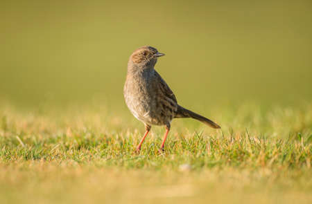 grass close up: Dunnock, Prunella modularis, on the grass, close up