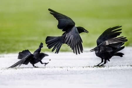 cuervo: Cuervos, Corvus corone, en la tierra helada