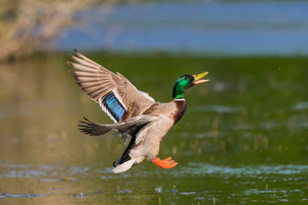 wildfowl: Mallard, male, flying into a pond Stock Photo