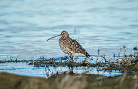 Curlew, Numenius arquata, standing in the sea 版權商用圖片