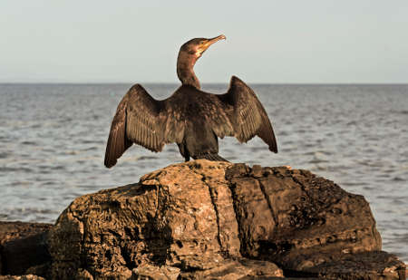 carbo: Cormorant, Phalacrocorax carbo, perched on a rock drying its wings Stock Photo