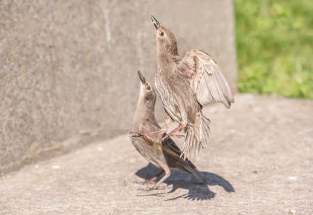 juvenile: Starling, juvenile on the pavement, flying upwards