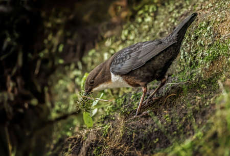 nesting: Dipper with nesting material Stock Photo