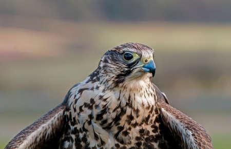 falco: Hobby, Falco subbuteo, portrait, close up