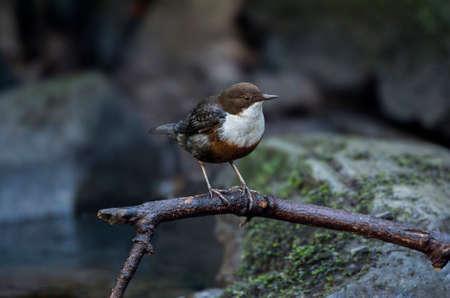 dipper: Dipper on a branch