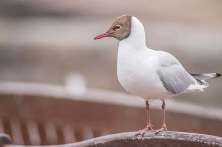 chroicocephalus: Black-headed gull, perched on a bench Stock Photo