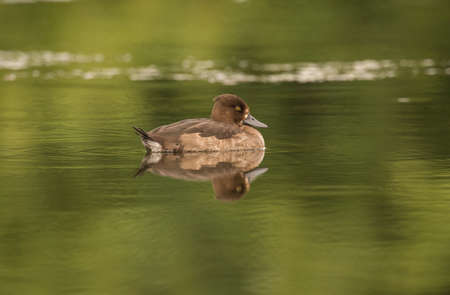 tufted: Tufted duck, female, on a pond