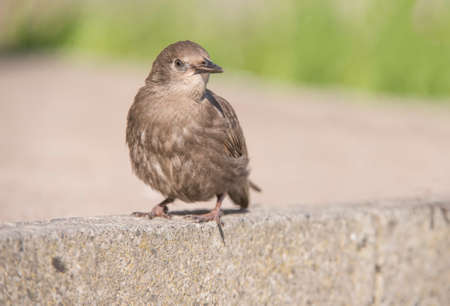 juvenile: Starling, juvenile on the pavement, close up
