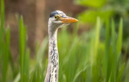 grey heron: Grey Heron ,ardea cinerea, portrait