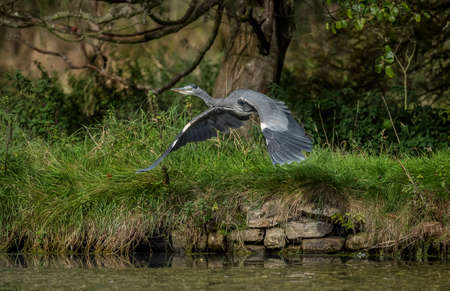 cinerea: Heron, Ardea cinerea, flying from the edge of a pond