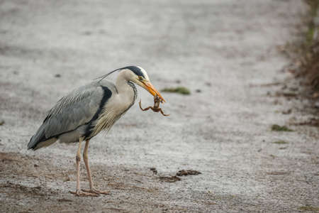 ardea cinerea: Grey Heron, ardea cinerea, eating a frog Stock Photo