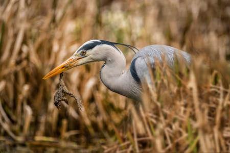 ardea cinerea: Grey Heron, ardea cinerea, in reeds, with frog in its beak Stock Photo
