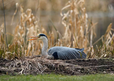 grey heron: Grey Heron, lying in front of reeds, squawking Stock Photo