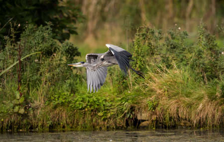 ardea cinerea: Heron, ardea cinerea, flying from the side of a pond