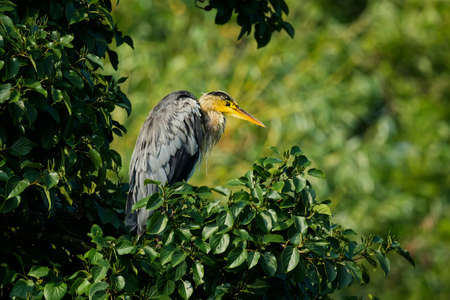 ardea cinerea: Grey Heron, ardea cinerea, sitting in a tree