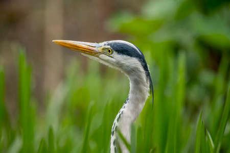 grey heron: Grey Heron, ardea cinerea, portrait