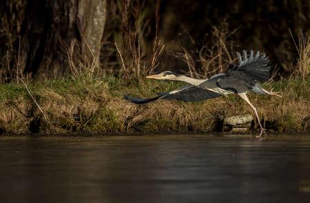 ardea cinerea: Grey Heron, ardea cinerea, flying across an icy pond