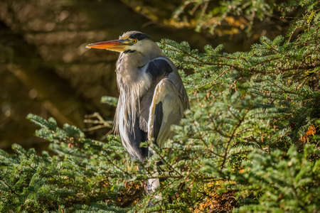 grey heron: Grey Heron in pine tree Stock Photo